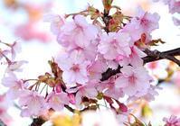 河津桜 - 旅のかほり