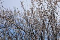 春の足音八分咲き - 萩セミナーハウスBLOG