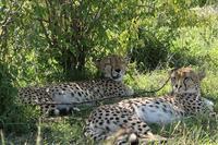 ケニアの野生動物たち(世界で一番有名な5頭のチーター) - 旅プラスの日記