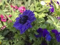 待ち望んでいた花が開けば心軽やか - 島暮らしのケセラセラ