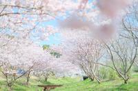 見たかった桜 - カメラをもってふらふらと