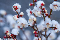 梅の花雪の中に咲く - harley-katydid