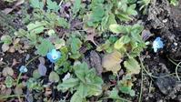 オオイヌノフグリ開花 - うちの庭の備忘録 green's garden