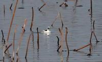 MFの沼で冬鳥(ミコアイサ・カンムリカイツブリを撮る) - 私の鳥撮り散歩