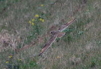 コミミズクその18(飛翔) - 私の鳥撮り散歩
