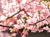 河津桜メジロ - 風まかせ、カメラまかせ