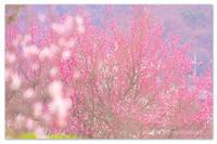 こころが桜になる前に。 - Yuruyuru Photograph