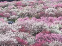 いなべ市梅林公園(三重県) - Bonbon Fleur ~ Jours heureux  コサージュ&和装髪飾りボンボン・フルール