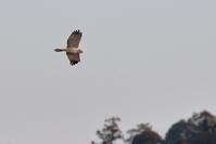 帰る前に…【チュウヒ・ユリカモメ・カンムリカイツブリ】 - 鳥観日和
