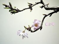 春3号&リアル散歩 - サモエド クローカのお気楽日記