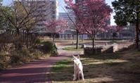 さくら咲く - 小太郎の白っぽい世界