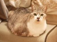 猫のお留守番 大吉くん編。 - ゆきねこ猫家族