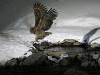 冬の道東巡り#1シマフクロウ - cuccooの野鳥エトセトラ