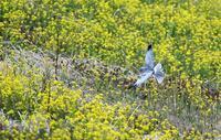 餌の狩り中飛翔しながらネズコウモグラを捕捉する、その画像を撮る撮れるかな(・・?。誠 - 皇 昇