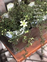 三寒四温 -  Flower and cafe 花空間 ivory (アイボリー)
