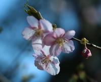 桜咲く - 光りの音   photo gallery