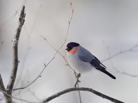 お山のウソたち - トドの野鳥日記