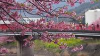 河津桜 - belakangan ini