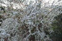 春の足音満開 - 萩セミナーハウスBLOG