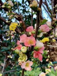 3月*咲き始めた春の花に願いをこめて - 屋根裏部屋のドロシー*Dorothy in the Garret