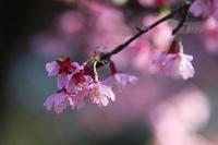 桜のいろいろと、ハクモクレン - 子猫の迷い道Ⅱ
