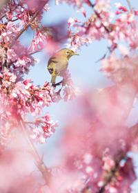 オカメ桜と君 - ほほえみ