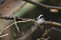 いつも可愛いエナガさん - 鳥と共に日々是好日