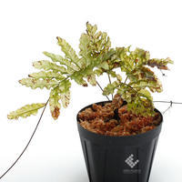 New arrival plants   新掲載植物南米原産の透け透けシダとマルクグラビア - ZERO PLANTS / BLOG