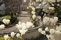 ハクモクレンの咲く道 - kisaragi
