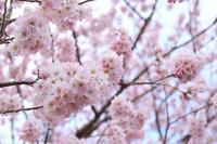 春めき桜 - HAPPY to ...