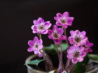 雪割草(1) - 花ごよみ~山野草に魅せられて~
