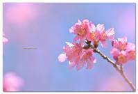 オカメザクラ - toru photo box