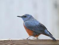 今朝の庭 - TACOSの野鳥日記