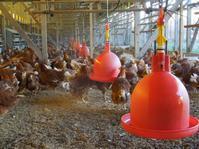 「春の雛鶏Mar-2019」 - 自然卵農家の農村ブログ 「歩荷の暮らし」