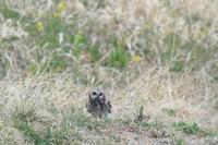 コミミズクⅧ獲物は ネズミ - 気まぐれ野鳥写真