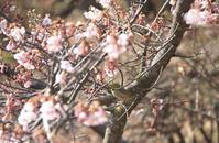 河津桜、2013年 - バリ島大好き