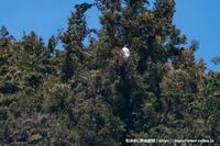 クマタカの番(つがい) - 気ままに野鳥観察