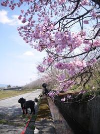 桜の散歩道 - ほっとひと息