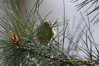 キクイタダキの羽繕い・・・② - フォト エチュード  Photo-Etudes