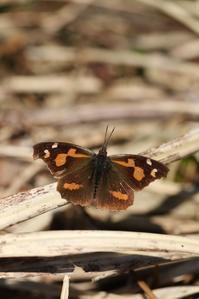 初の新生蝶はルリシジミ - 蝶超天国