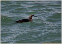 シロエリオオハムも居た - 野鳥の素顔 <野鳥と日々の出来事>