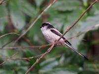 森林科学園のエナガ - コーヒー党の野鳥と自然 パート2