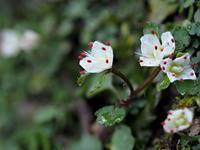 日影沢で山野草観察 - コーヒー党の野鳥と自然 パート2