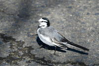 1月に出会った鳥さんたち@印旛沼周辺 - Buono Buono!
