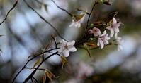 クマノザクラ開花 - 紀州里山の蝶たち