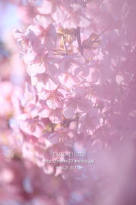 ピンクの花びら - my FHOTO