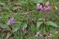 カタクリが咲く山麓の公園へ - 季節の風を追いかけて