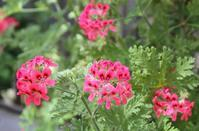 葉を触ると香りを楽しめます - 神戸布引ハーブ園 ハーブガイド ハーブ花ごよみ