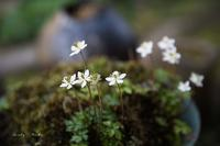 春を呼ぶ花♪ - Lovely Poodle