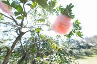 神代の3月〜椿園 - 柳に雪折れなし!Ⅱ